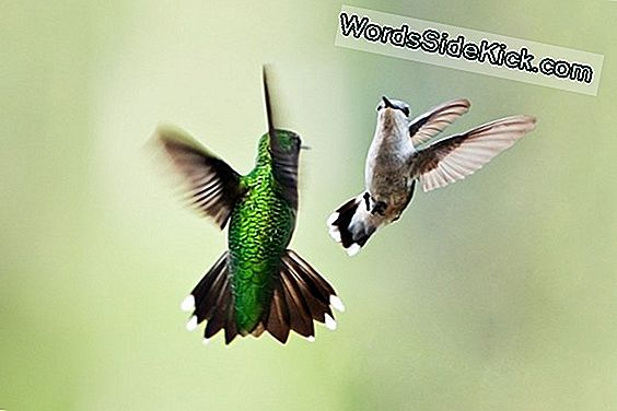 Animal Sex: Kuinka Hummingbirds Do It