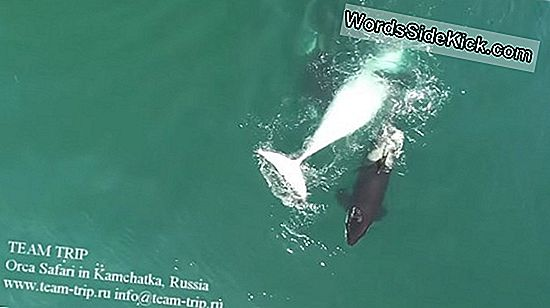 Blood In The Water: Drone -Videofilmit Whale-Hunting Orcas
