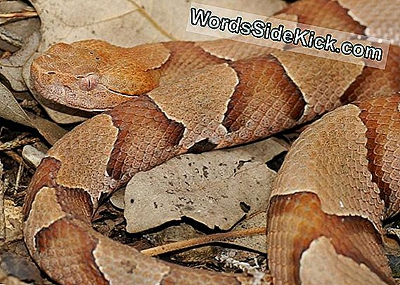 Copperhead Snakes: Facts, Bites & Babies