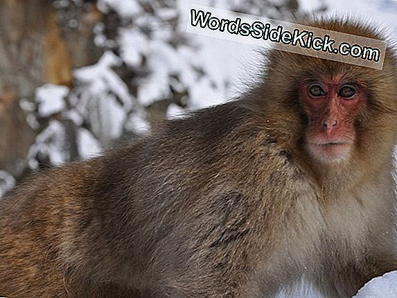 Snow Monkeys Rakkaus Hot Baths Just Like Humans Do, Ja Nyt Tiedämme Miksi