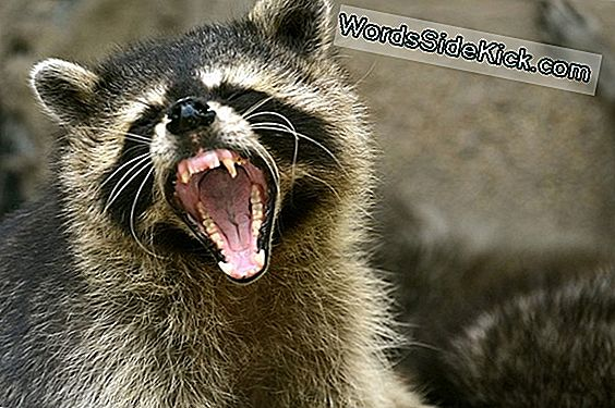 Teeth-Baring 'Zombie' Raccoons Scaring Residents Of Ohio Town