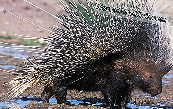 Porcupine Quills & Gecko Feet Inspire Medical Materials