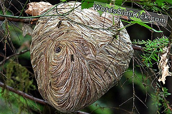 Yellow Jacket 'Super Nests' De La Taille Des Voitures En Alabama
