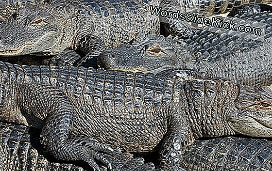 Flooding Kan 350 Gators In Texas Sanctuary Gratis Maken