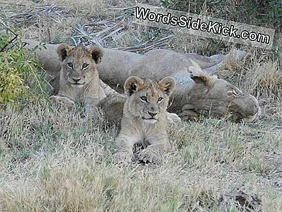 Lions Face Extinction In West-Afrika