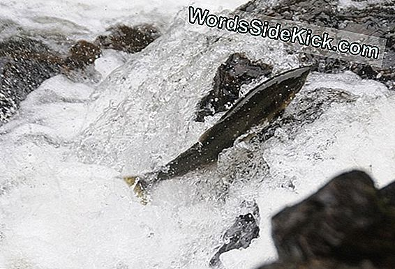 Young Salmon Born Knowing Migration Route