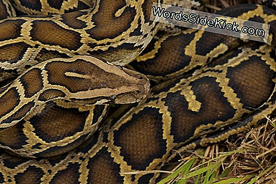 Snake In The Grass! Enorme Everglades Python Mostra La Questione Invadente