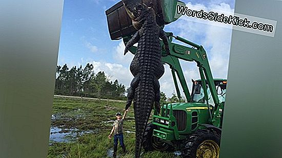"""Alligator Hunter Nabs"" Ilgiausias Floridos Gatoris"