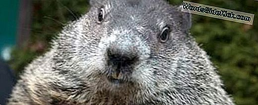 Punxsutawney Phil: The Groundhog Behind The Myth