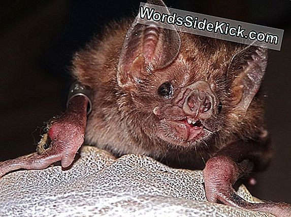 Doel Van Bat'S Weird Nose Explained