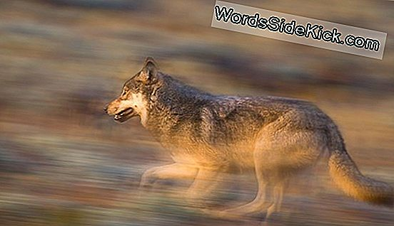Yellowstone Wolves Herintroduceren 'Ecology Of Fear'