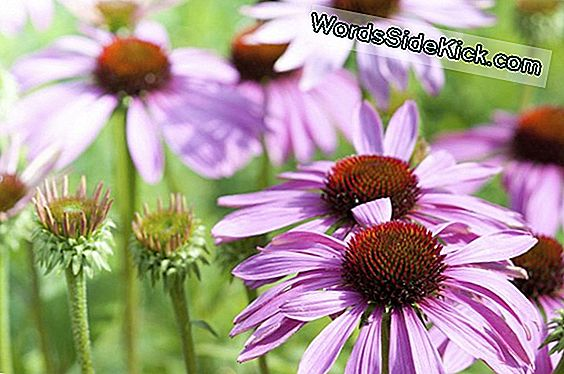 Echinacea Discredited As A Cold Treatment, Research Vindt