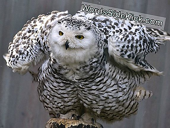 Harry Potter'S Snowy Owl: Not Just For Wizards