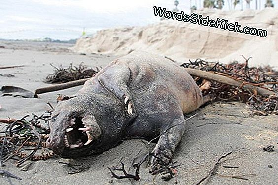 Mysterious 'Monster' Spoelt Aan Op Canadian Shore