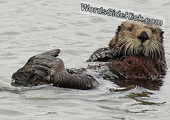 Sea Otters Mogen Global Warming Warriors Zijn