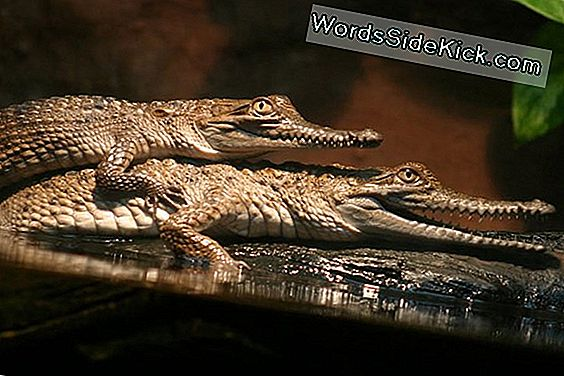 Animal Sex: How Crocodiles Do It