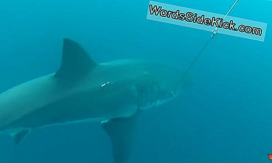 16-Voet Great White Shark Spotted Near Australian Beach
