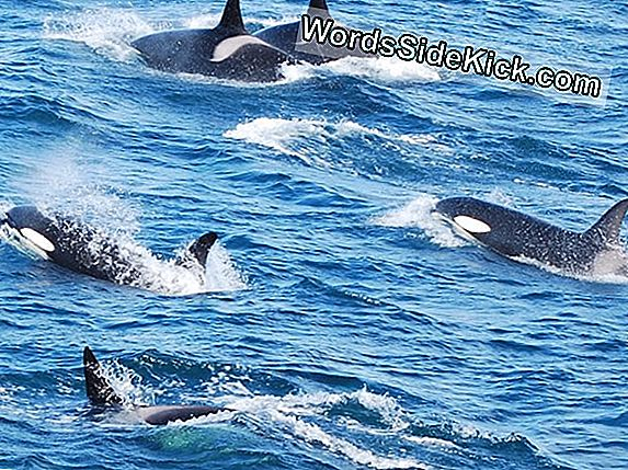 Killer Whales Bully Lone Blue Whale In Zeldzame Video