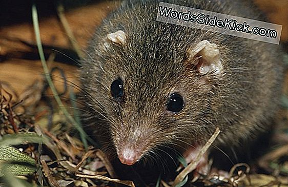 Foto'S Van Antechinus: New Marsupials Die For Sex