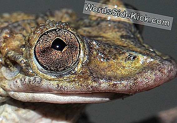 Frogs From Hell: Their Venomous Head Spikes Could You Kill