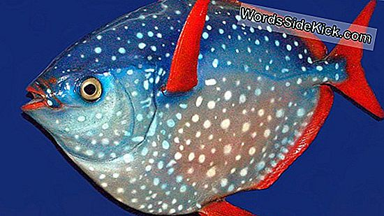 Moonfish: The First Warm-Blooded Fish (Foto'S)