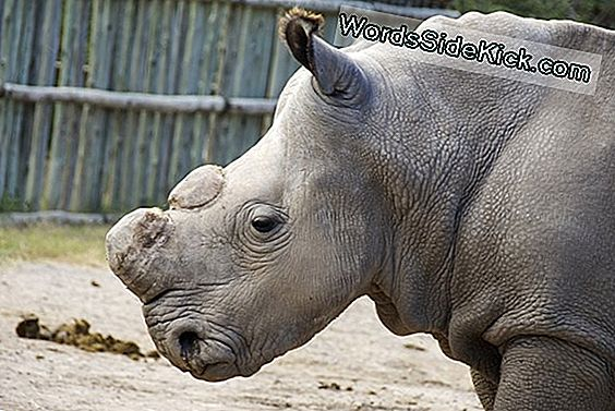 Will Fake Rhino Horns Curb-Stroperij?