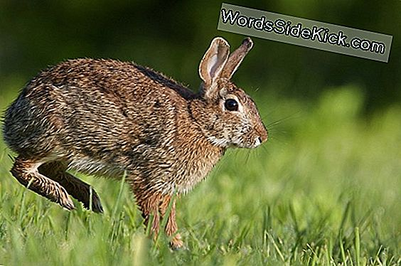 Rabbit Fever On The Rise In De Vs, Zegt Cdc