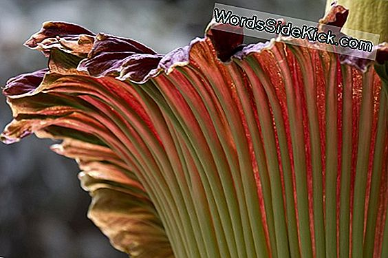 Smells Fishy: Putrid 'Corpse Flower' Bloeit