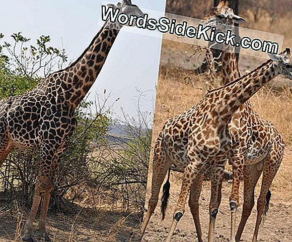 Aging Male Giraffes Go Black, Not Gray