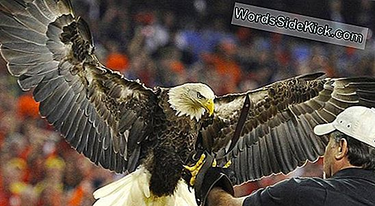 Bald Eagles: Feiten Over American Mascot