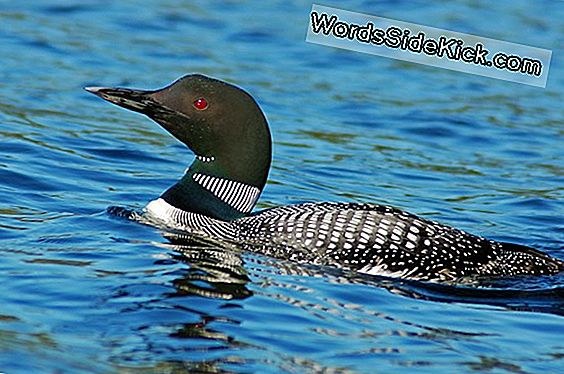 Feiten Over De Common Loon