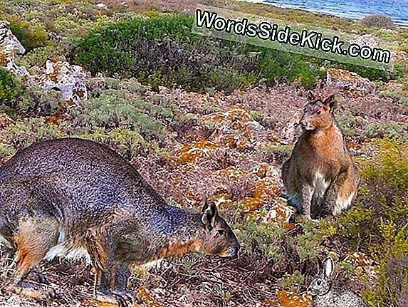 King Of Rabbits: Ancient, Gigantic Bunny Discovered
