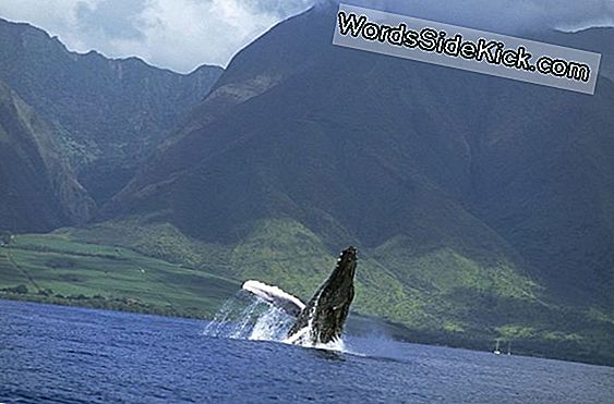 Mystery Humpback Whale Breeding Ground Ontdekt?