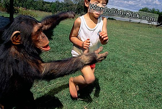 Primate Police: Why Some Chimps Play The Cop