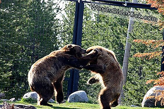 Moeten We Op Yellowstone Grizzly Bears Jagen? (Op-Ed)
