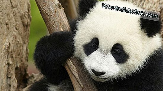 Video: Adorable Baby Panda Houdt Van Rondrennen