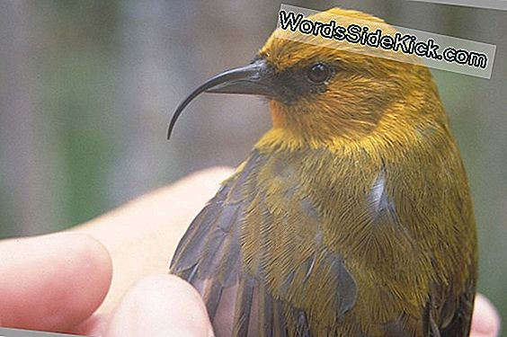 3 Bedreigde Hawaiian Bird Species Expanding Range