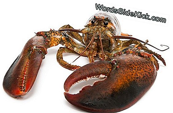 Animal Sex: How Lobsters Do It