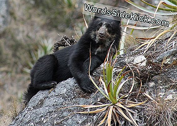 Bear Necessities: Andean Bears Call Machu Picchu Home