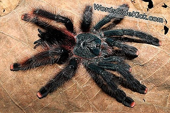Bird-Eating Spiders: 3 Massive, Furry Tarantulas Discovered