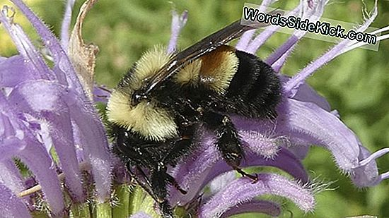 Rusty Patched Bumblebee Declared Endangered