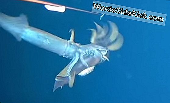 Video-Opnames Surprise Squid Attack - On Another Squid