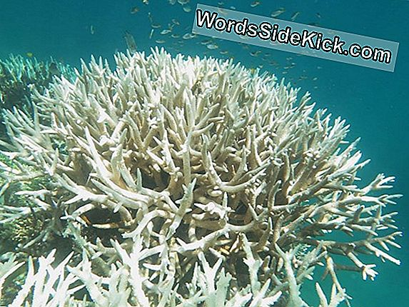 Great Barrier Reef Again Hit By Severe Coral Bleaching