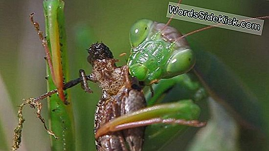 Wat Een Spektakel! Praying Mantises Wear Tiny 3D Glasses, For Science