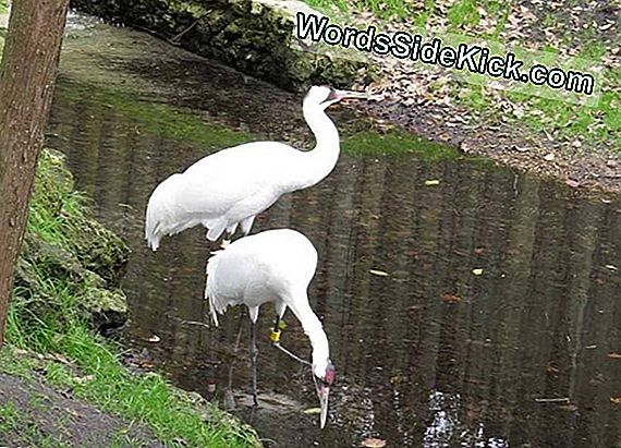 Majestic Whooping Crane Wraca Do National Zoo