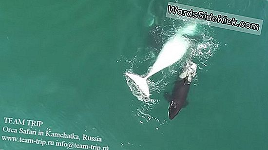 Blood In The Water: Drone Video Films Orcas-Hunting Whale