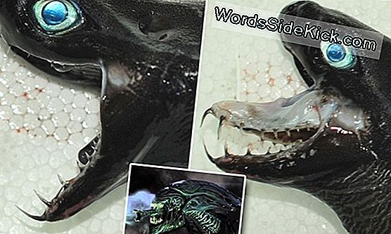 """Alien"" Shark With Goblin-Like Jaws Holuled Up From The Deep Sea"