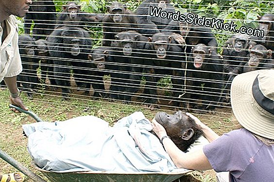 Grooming Gallery: Chimps Get Social