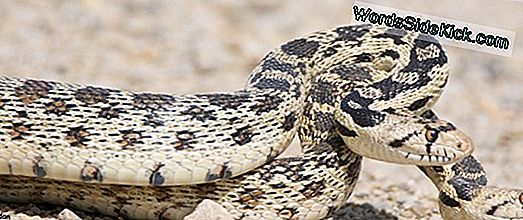 Gopher Snake Facts