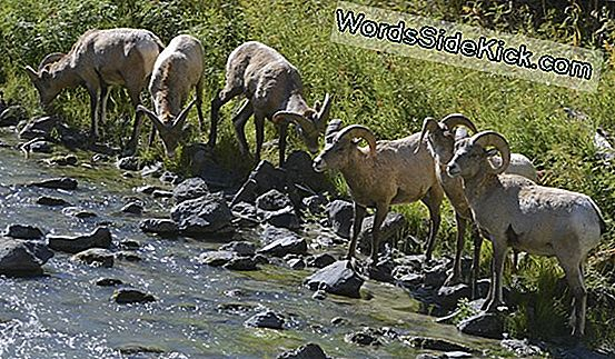 Rams: Facts About Sheep Bighorn Male